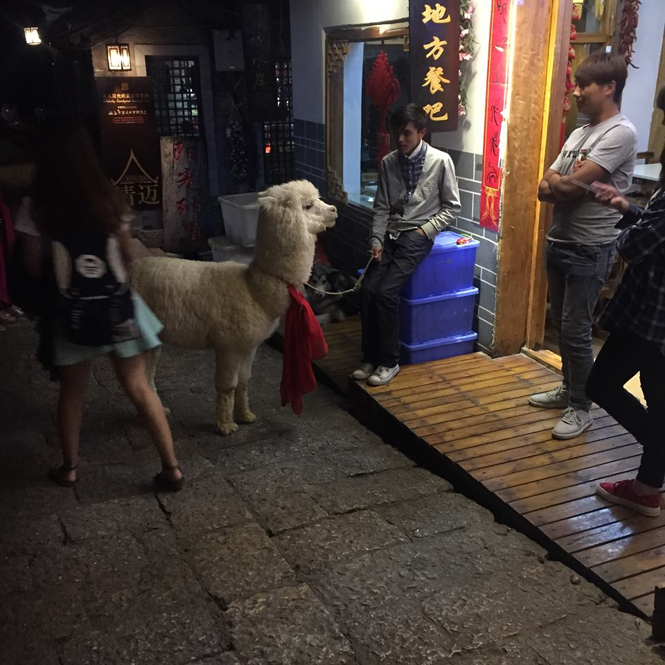 china travel alpaca