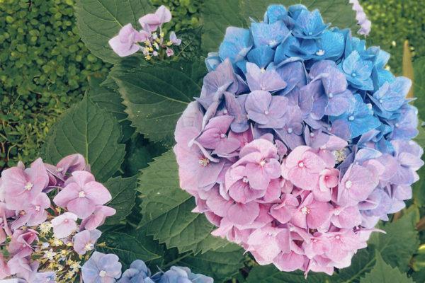 three coloured hydrangeas 1