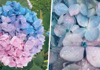 three coloured hydrangeas cover 2