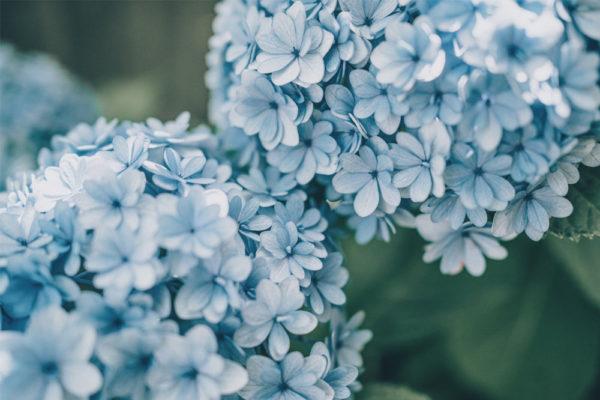 three coloured hydrangeas blue
